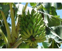 Banano criollo y Cavendish (exportación)